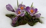 Ghioceii si brandusele sunt primele plante cu bulbi care scot capul din zapada