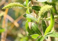Cele 38 de remedii florale Bach - 27