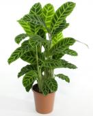 Calathea, planta tigrata si exotica