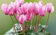 Ciclama, planta cu flori ca fluturii