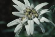 Cum sa cultivi acasa floarea de colt