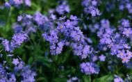 Myosotis, floarea care-ti sopteste ''nu ma uita''