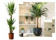 Yucca elephantipes si Yucca aloifolia, palmierii de apartament