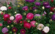 Culorile toamnei: soiuri de Ochiul Boului pentru flori taiate