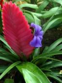 Tillandsia Cyanea, planta de apartament cu floarea cea mai ciudata