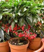 Ardisia crenata, planta cu bace rosii