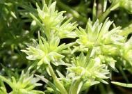 Cele 38 de remedii florale Bach - 26