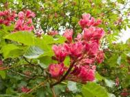 Cele 38 de remedii florale Bach - 8