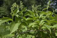 Planta miraculoasa care combate cancerul in 40 de zile