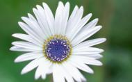 Arctotis, floarea contrastelor