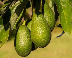 Uleiul de avocado - elixir miraculos pentru frumusetea pielii si a parului