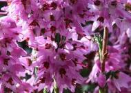 Cele 38 de remedii florale Bach - 15