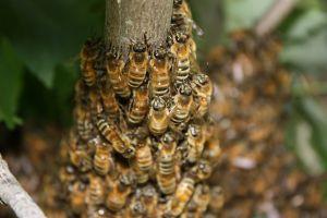 Albinele, in pericol. Polenizarea si, implicit, agricultura pot fi afectate sever