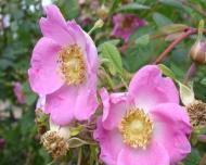 Cum se prepara apa de trandafiri si de ce este cu adevarat miraculoasa?