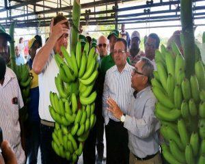 Poti sa slabesti cu banane verzi?