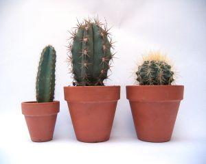 Cultivarea si ingrijirea cactusilor