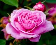 Reteta zilei: Dulceata de trandafiri
