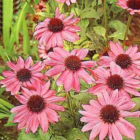 Echinaceea, remediul naturist impotriva gripei