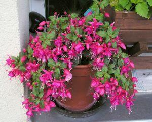 Fuchsia, o planta deosebit de frumoasa. Cum se ingrijeste