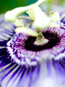 Floarea pasiunii, desemnata Planta Medicinala a Anului 2011