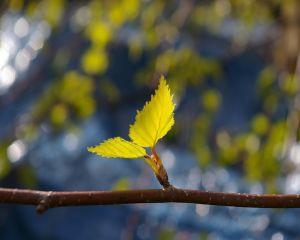 Frunzele si scoarta de mesteacan - beneficii pentru sanatate