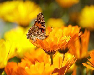 Galbenelele, remediu naturist pentru tratarea multor boli