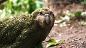 Noua Zeelanda a desemnat kakapo drept pasarea anului 2020
