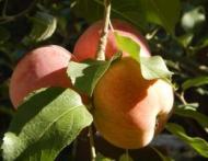 5 lucruri pe care nu le stiai despre mere