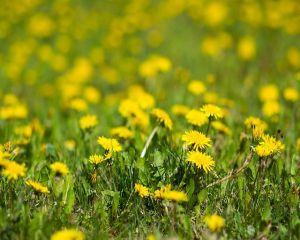 Planta miraculoasa care distruge celulele canceroase in mod natural