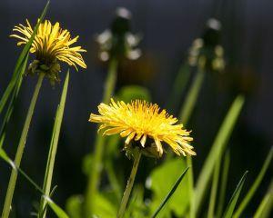 Dr. Oz: 2 remedii naturiste pentru migrene si probleme cu digestia