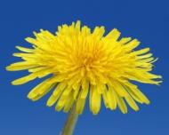 5 plante pentru detoxifierea ficatului