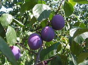 Iti plac prunele? Avem vesti bune pentru consumatorii de prune
