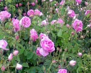 Trandafirul pentru dulceata: ce trebuie sa stii despre Rosa Damascena