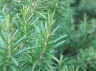 Plante aromatice la ghiveci: rozmarinul