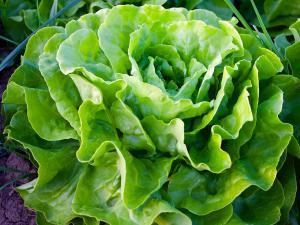 Top beneficii ale consumului de salata verde!