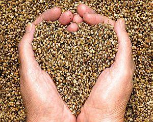 De ce este important sa mancam seminte de canepa