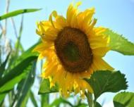 Veste buna pentru fumatori! Semintele de floarea soarelui reduc pofta de nicotina