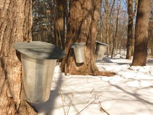 Consumi sirop de artar? Iata ce beneficii are siropul arborelui miraculos!