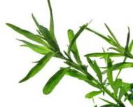 Tarhon - Condimentul care inlocuieste sarea