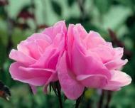 Trandafirul de dulceata. Cultivare si ingrijire