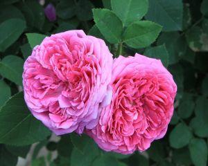 Cum sa prepari cea mai buna dulceata de trandafiri