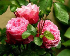 Cum sa iti amenajezi o gradina cu trandafiri pentru dulceata
