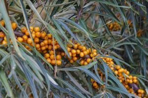 Beneficiile uimitoare ale uleiului de catina