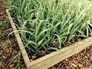 Usturoiul verde: Cel mai puternic detoxifiant al organismului?