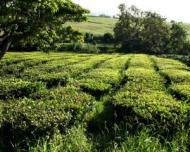 Ceai verde - Beneficii si contraindicatii